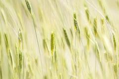 Champs de céréales à Valensole
